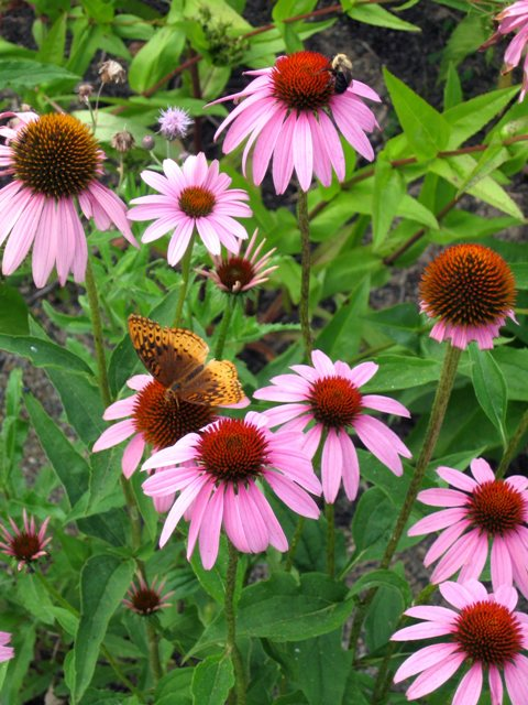 Purple Coneflower w Bee Butter