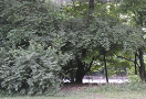 Urban Forestry Page CERP Thumbnail