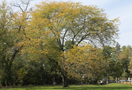 Urban Forestry Page Champion Big Tree Thumbnail