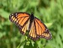 monarch butterfly3