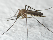 Mosquito - white background
